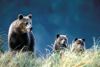grizzly-bear-family_credit-knight_inlet_lodge.jpg