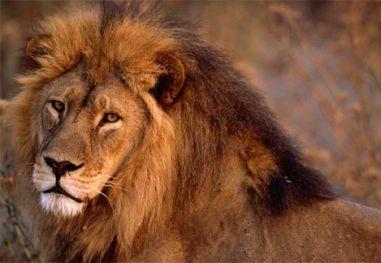 african-lion-closeup.jpg