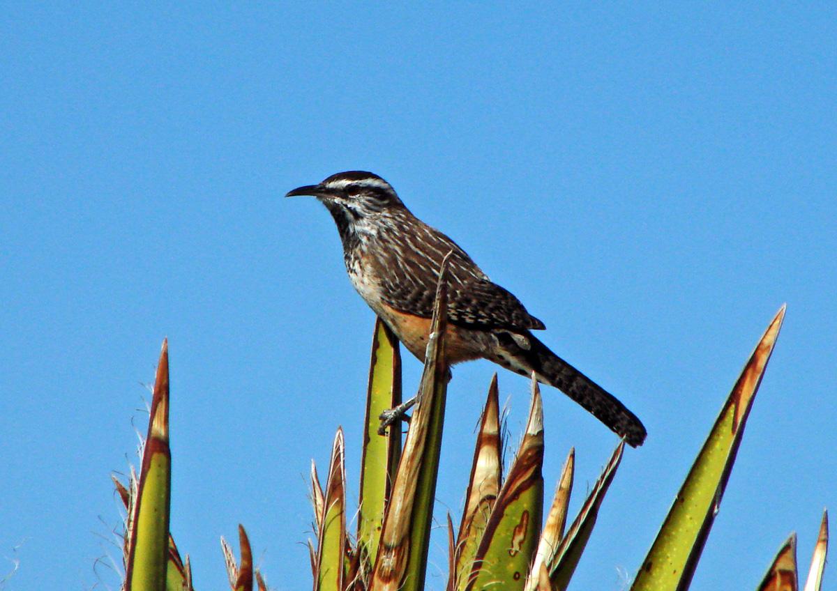 Information About Cactus Wren Bird