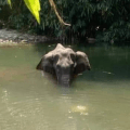Arrestan a responsable de darle una piña con explosivos a elefanta embarazada