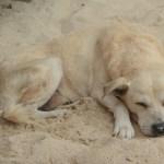 yellow beach dog
