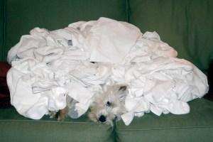 Westie under a pile of clothes