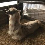 Llama at rest