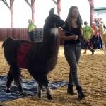 Handsome alpaca being walked