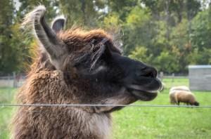 Fernando Guard Llama