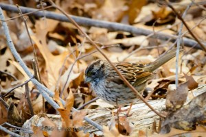 White-throated Sparrow, tan phase.