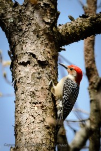 Red-bellied Woodpecker.  No, that's not a typo.  It's NOT a Red-headed Woodpecker, although there is such a species.
