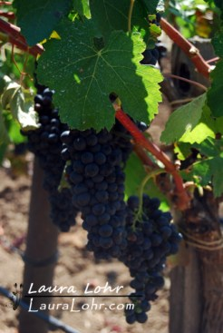 Quivira Grapes