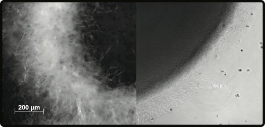 The presence (left) or absence (right) of aerial hyphae in Streptomyces may influence their atmospheric H<sub>2</sub> consumption