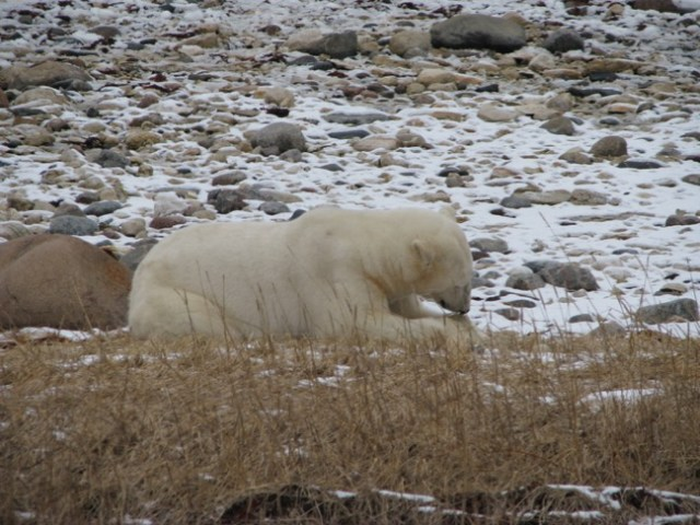 polar bear snacking on some grass and kelp