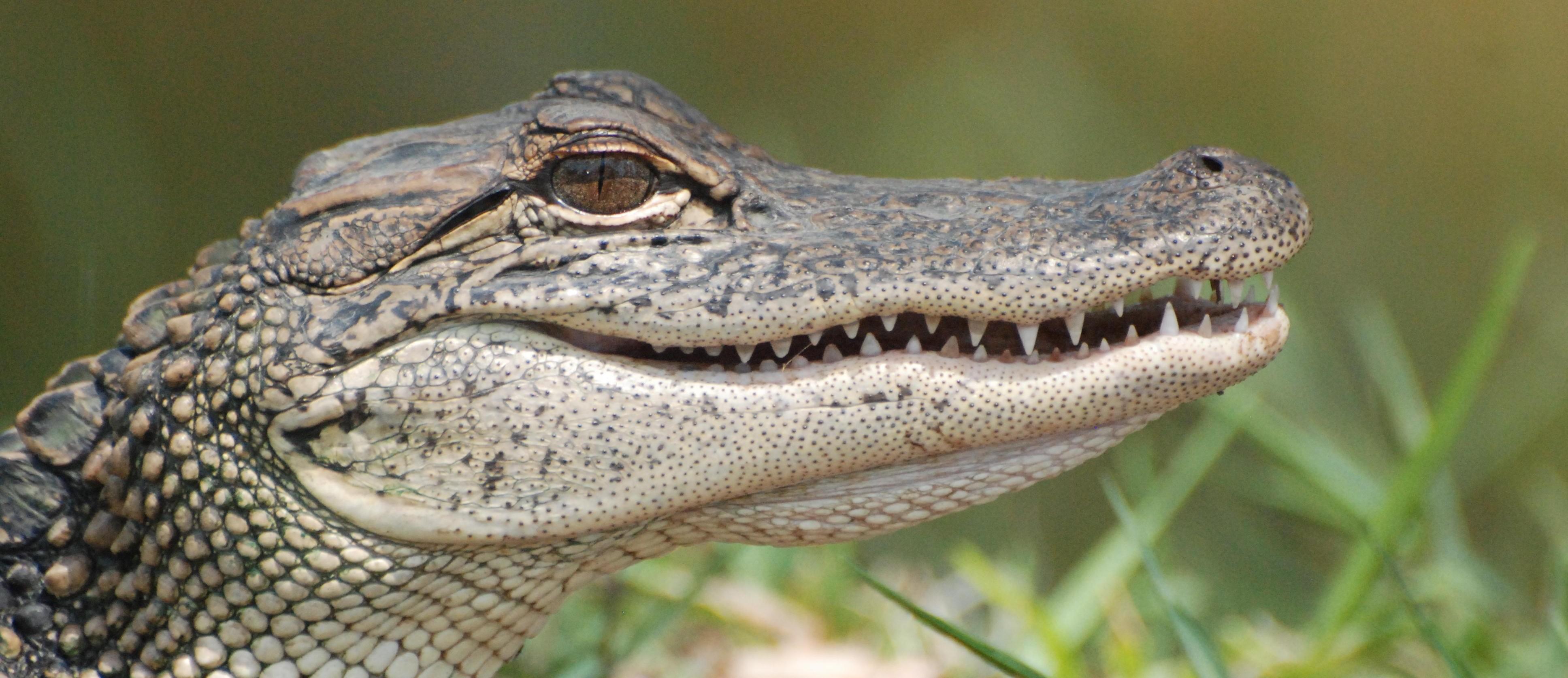 close up of alligator's head