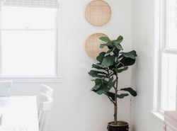 QVC-Fiddle-Leaf-Fig