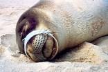 Tiere verfangen sich im Plastik und sterben qualvoll. (Quelle: NOAA)