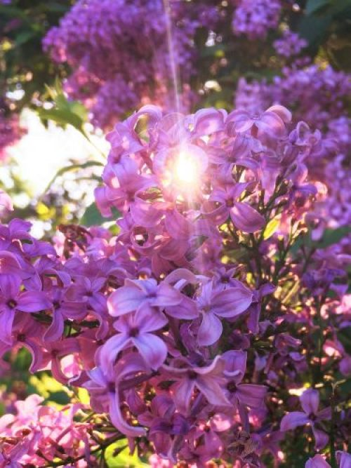 light rays through the lilacs