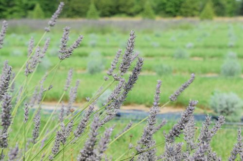 Fragrant Isle Lavender Farm