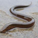 Monopterus albus