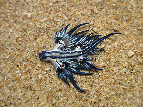 Le Glaucus Atlanticus ou dragon bleu