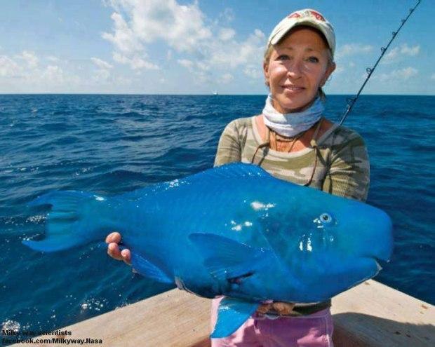 Le poisson perroquet bleu