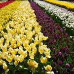 PARCO DI KEUKENHOF – Tra i coloratissimi tulipani d'Olanda
