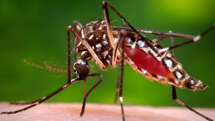 'Aedes aegypti', el mosquito del Zika