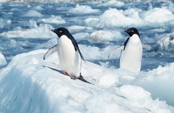 Pingüino adelaida ('Pygoscelis adeliae') en la Antártida