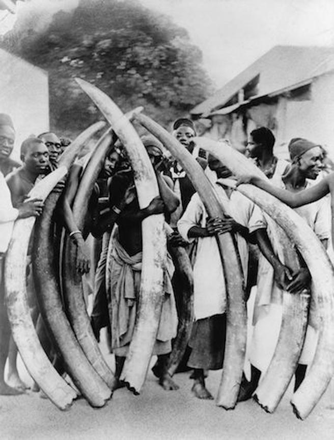 Hombres africanos sosteniendo con las manos colmillos de elefantes.