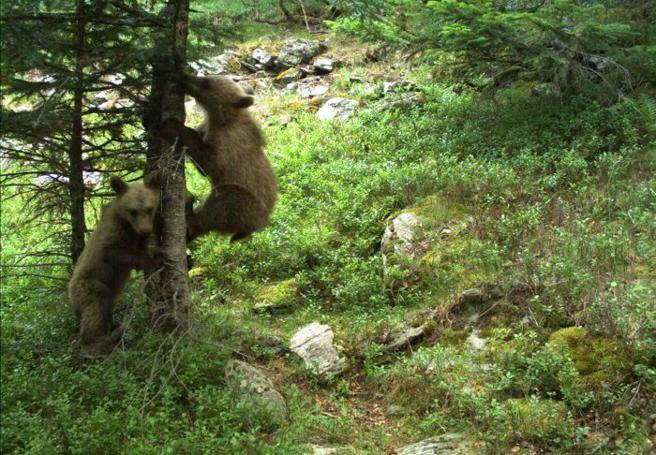 Imagen de fototrampeo de dos osos en el Puerto de Tavascan el pasado julio
