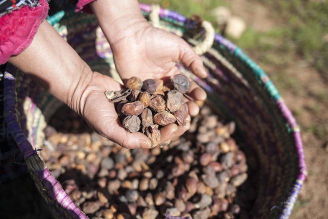 El fruto de argán es la base de la dieta en la cultura berebere en Marruecos