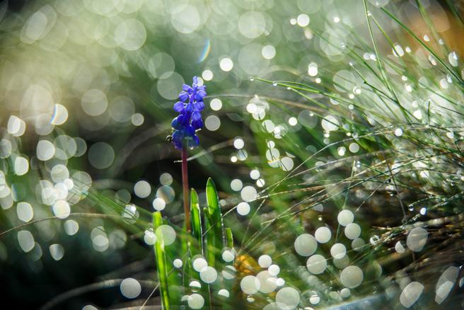 Unos nazarenos florecen en la primavera temprana.