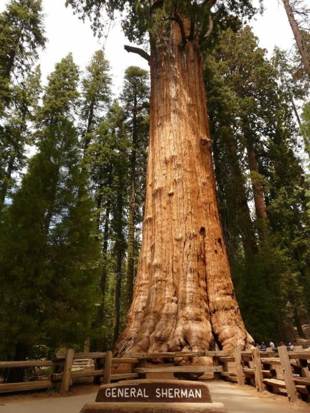 El General Sherman es considerado como el ser vivo con mayor cantidad de biomasa de la Tierra