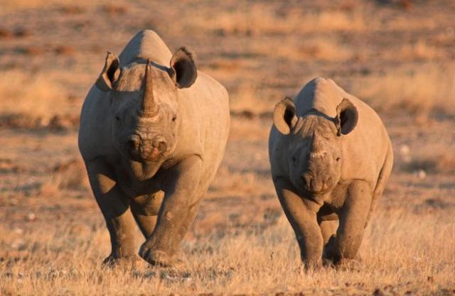 Rinocerontes negros en Etosha (Nambia)