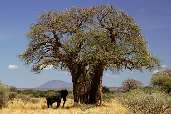 Baobab de enormes proporciones en Tanzania (África)