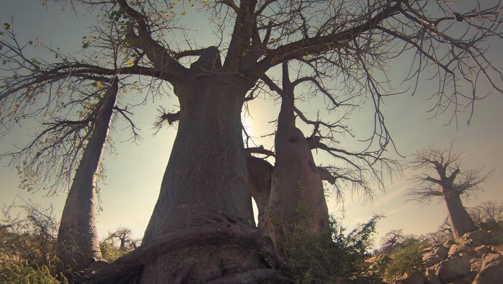 Los baobabs africanos se mueren y el motivo es un misterio