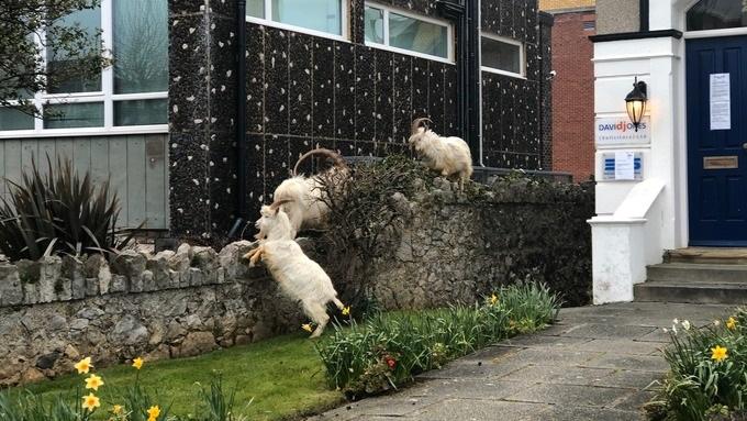 Los vecinos observan con sorpresa como las cabras salten a sus jardines