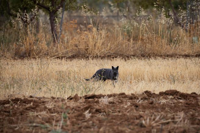 Imagen del gato que pasó por ser una pantera negra en Ventas de Huelma, Granada