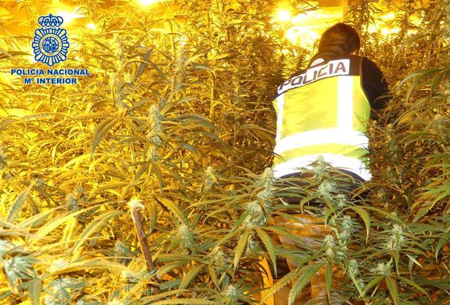 Un agente camina entre las matas de una plantación de marihuana 'indoor', el pasado año