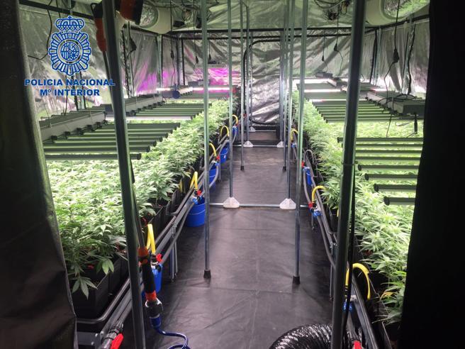 Desmantelamiento de un sofisticado cultivo hidropónico con más de 600 plantas de marihuana
