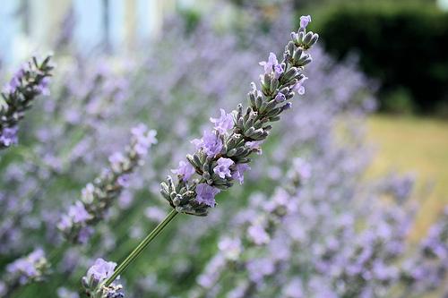 Lavender in my front garden
