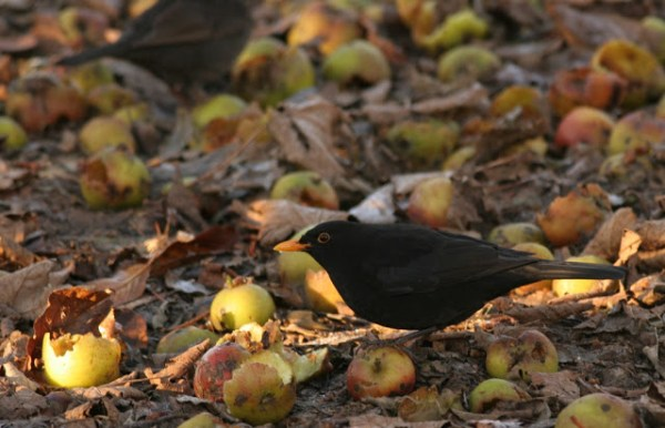 Blackbird with apples