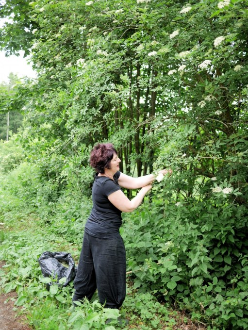 Picking elderflowwers in the vale of Belvoir