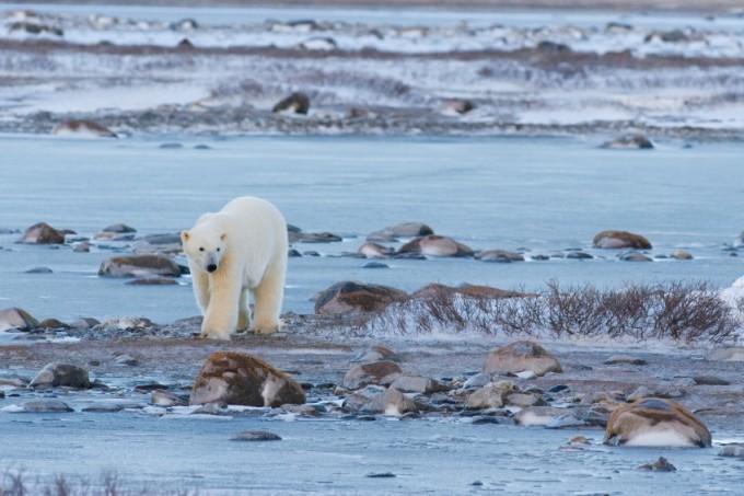 Hudson Bay and Polar Bear