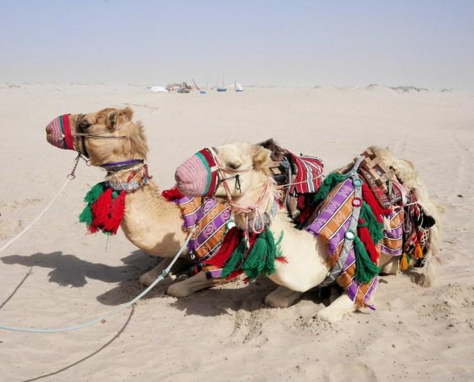 Camels Qatar
