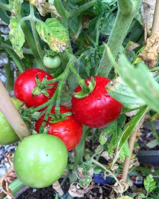 Moneymaker tomatoes