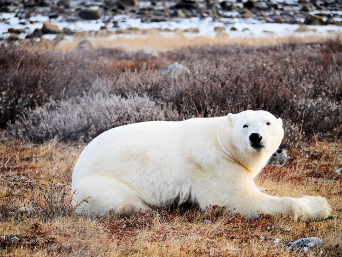Polar Bear in the Wild at Seal River Lodge