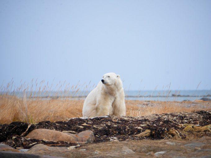 Polar Bear at Seal River Lodge
