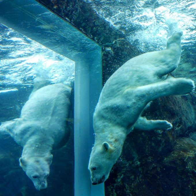 Orphaned Polar Bear playing in the glass tunnel at Assiniboine Park Zoo
