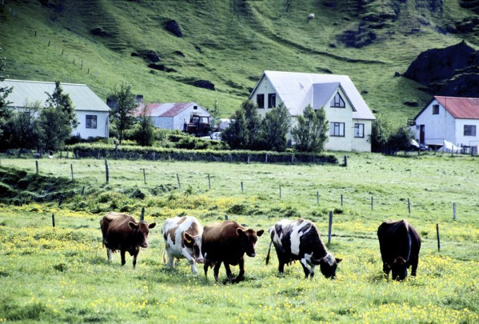 Iceland Cows for Skyr