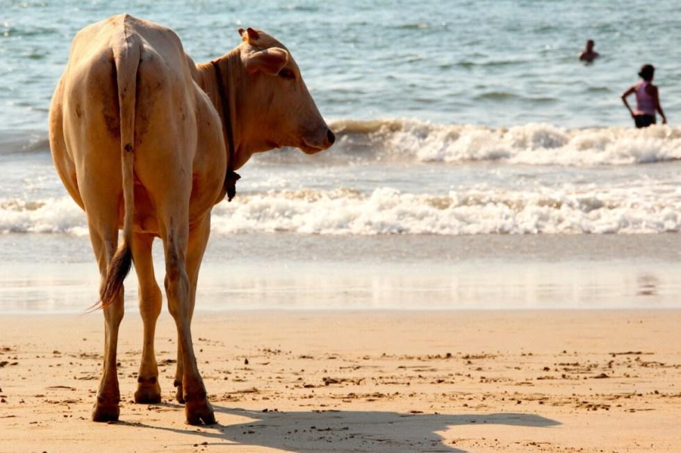 Cow on beach in Goa