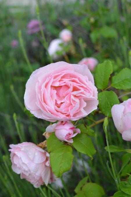 Old Fashioned Shrub Roses