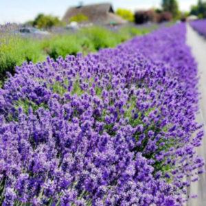 Lavender Care Growing Lavender In Cold Climates Lavender Connection